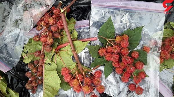 این سیب ها شیطانی هستند / داتورا چیست ؟ / پلیس تهران فاش کرد + عکس