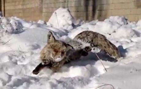 انجماد یک روباه در سرمای شدید +عکس