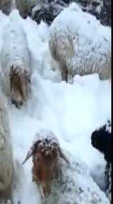 نجات یک چوپان و ۵۰۰ گوسفندش در برف