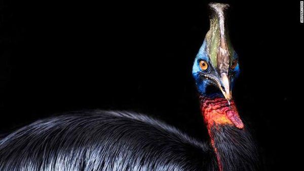 """""""خطرناکترین پرنده جهان"""" به دست انسان اهلی شده است"""
