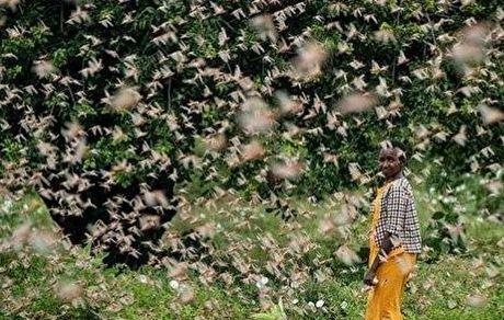 تصویری عجیب از ملخها در حال خوردن کشور کنیا!