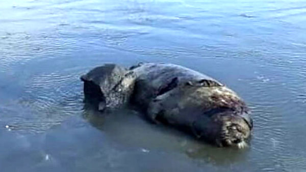 مرگ تلخ 14 فک خزری در سواحل مازندران
