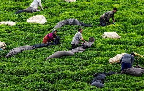 پیشبینی رشد 20 درصدی تولید چای
