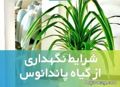 شرایط نگهداری از گل پاندانوس و پرورش این گیاه + عکس